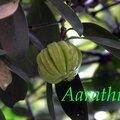 Kudam Puli - Garcinia cambogia