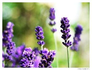 Lavender_by_Acwraith