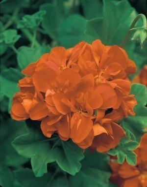 Geranium_Orange