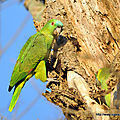 Amazone  front bleu (Amazona aestiva)