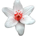 fleur-simple-rouge