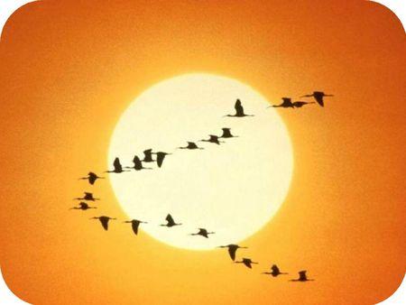 oiseaux-migrateurs