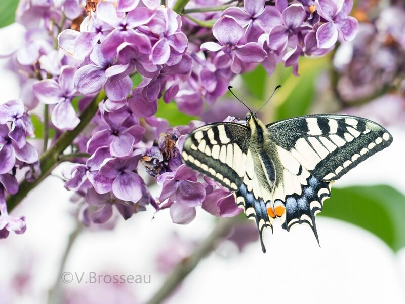 machaon17-04