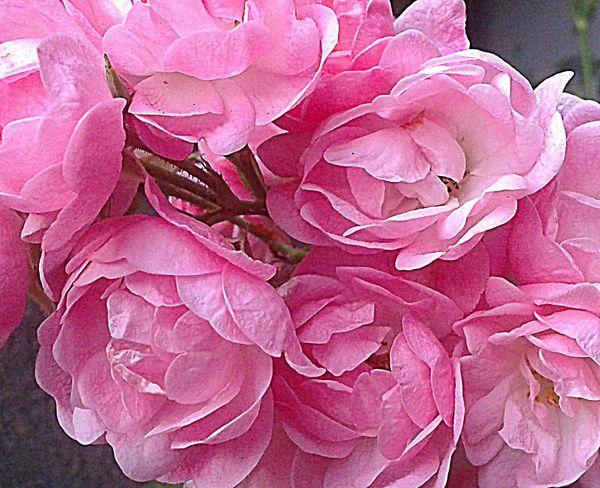 roses a (9)