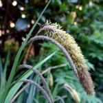Carex_pendula