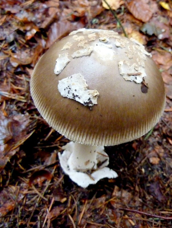 champignon : amanite vaginée