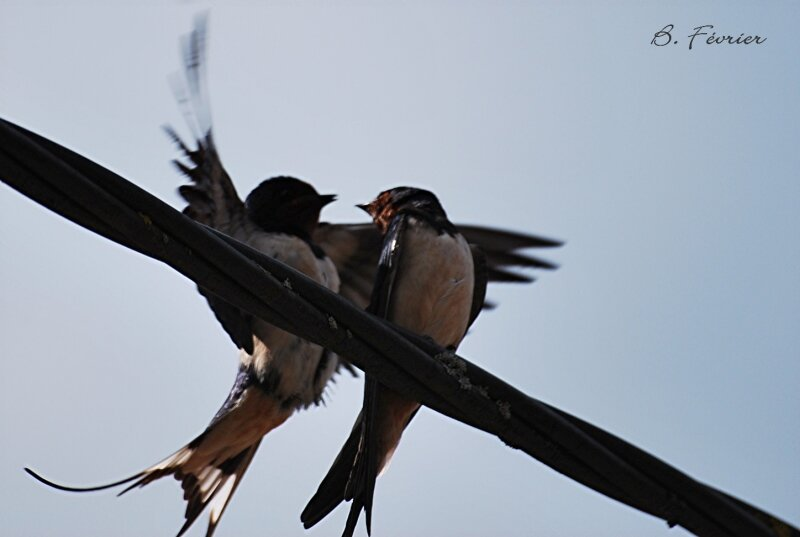 Hirondelle rustique (Hirundo rustica) Barn swallow