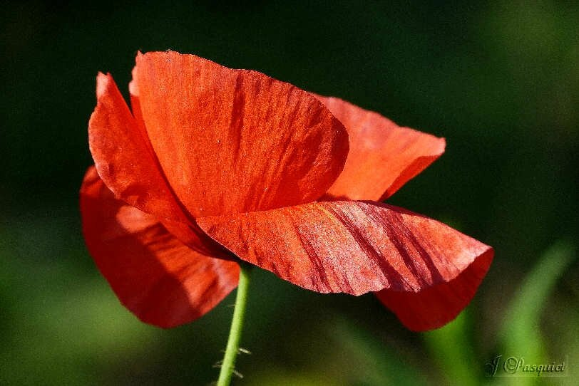4aout-coquelicot