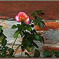 Rose 190915