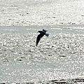 Oiseaux ile de re foto Mo2 (17)-h1500