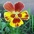 Violette tricolore ou Pensée - Pansy - Viola Tricolor