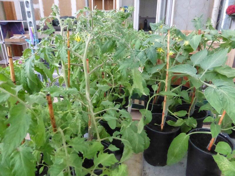 19-tomates-plants (5)