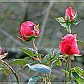 dernières-roses