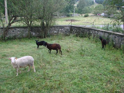 2008 07 13 Les moutons
