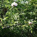 Eglantier (Rosa canina).