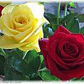 Duo de roses