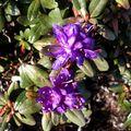 29 05 10 Rhododendron russatum Keilour (2)