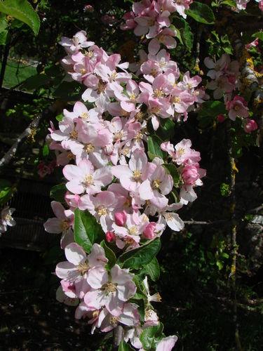 2008 05 22 Fleurs de pommier a petite pomme
