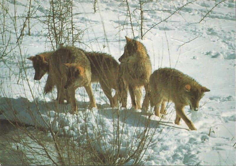 CPM Canis Lupus Louveteau