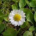 Paquerette de pelouse