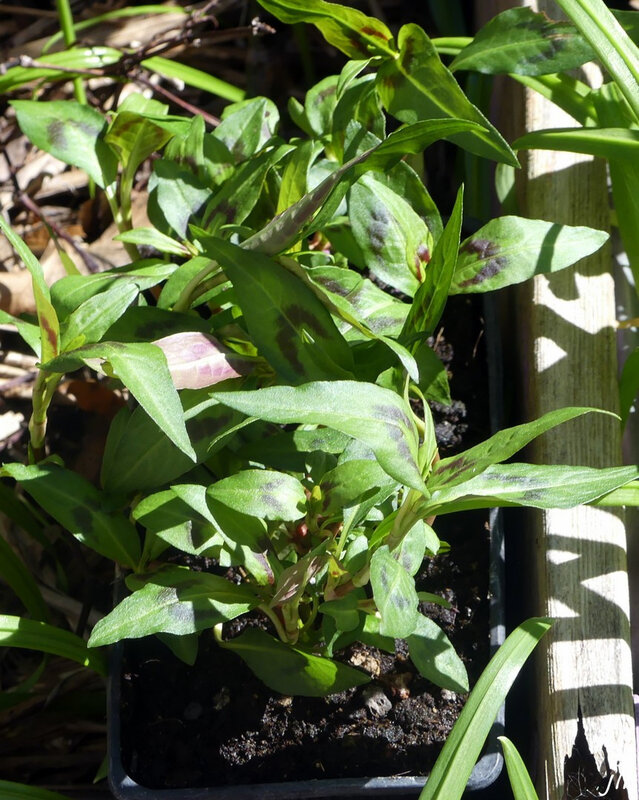 P1110539 Persicaria odorata, Rau Ram ou coriandre vietnamien