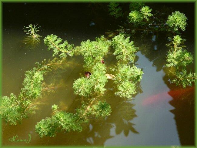 Les plantes de notre bassin poissons mon jardin du bonheur - Bassin plantes oxygenantes besancon ...