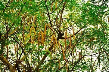 The_tree_and_seedpods_of_Moringa_oleifera