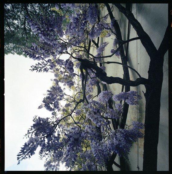 fleurs_lilas