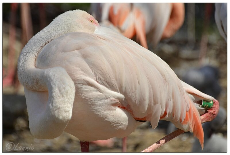 Zoo_Vincennes_flamant_rose_1