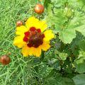 fleurs juillet 2010 007