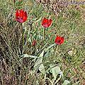 Tulipe précoce