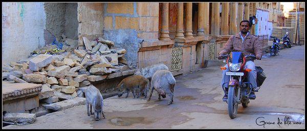 Cochons dans Jaisalmer