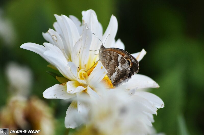 Papillon Hipparchia aristaeus