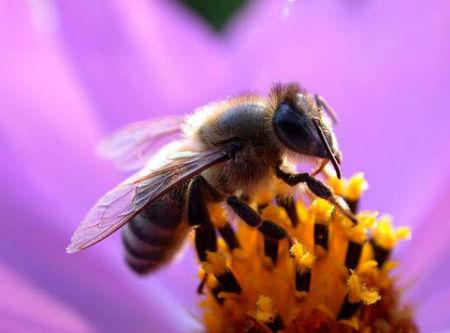 abeilless