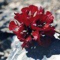 Le Désert Fleuri chilien