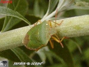 Punaise verte des bois • Palomena prasina • Pentatomidae