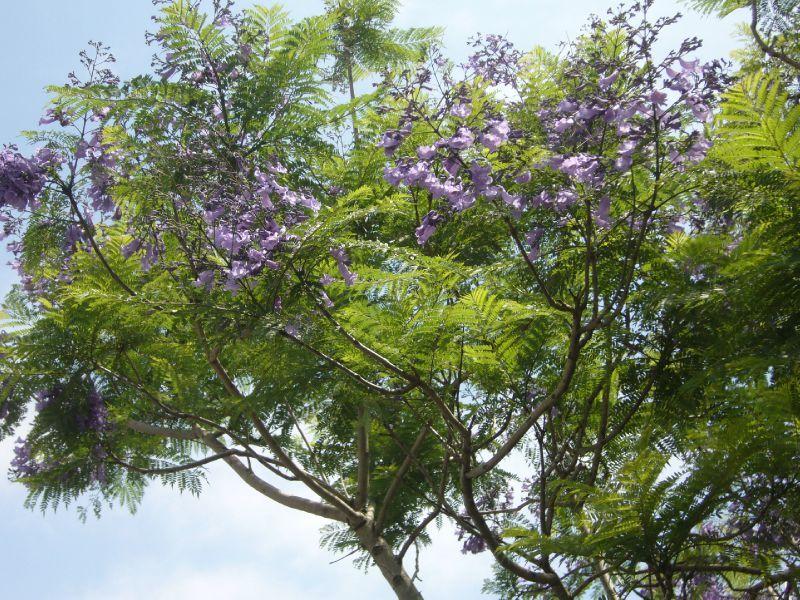 Australia day 1 here and there - Arbre fleur mauve printemps ...