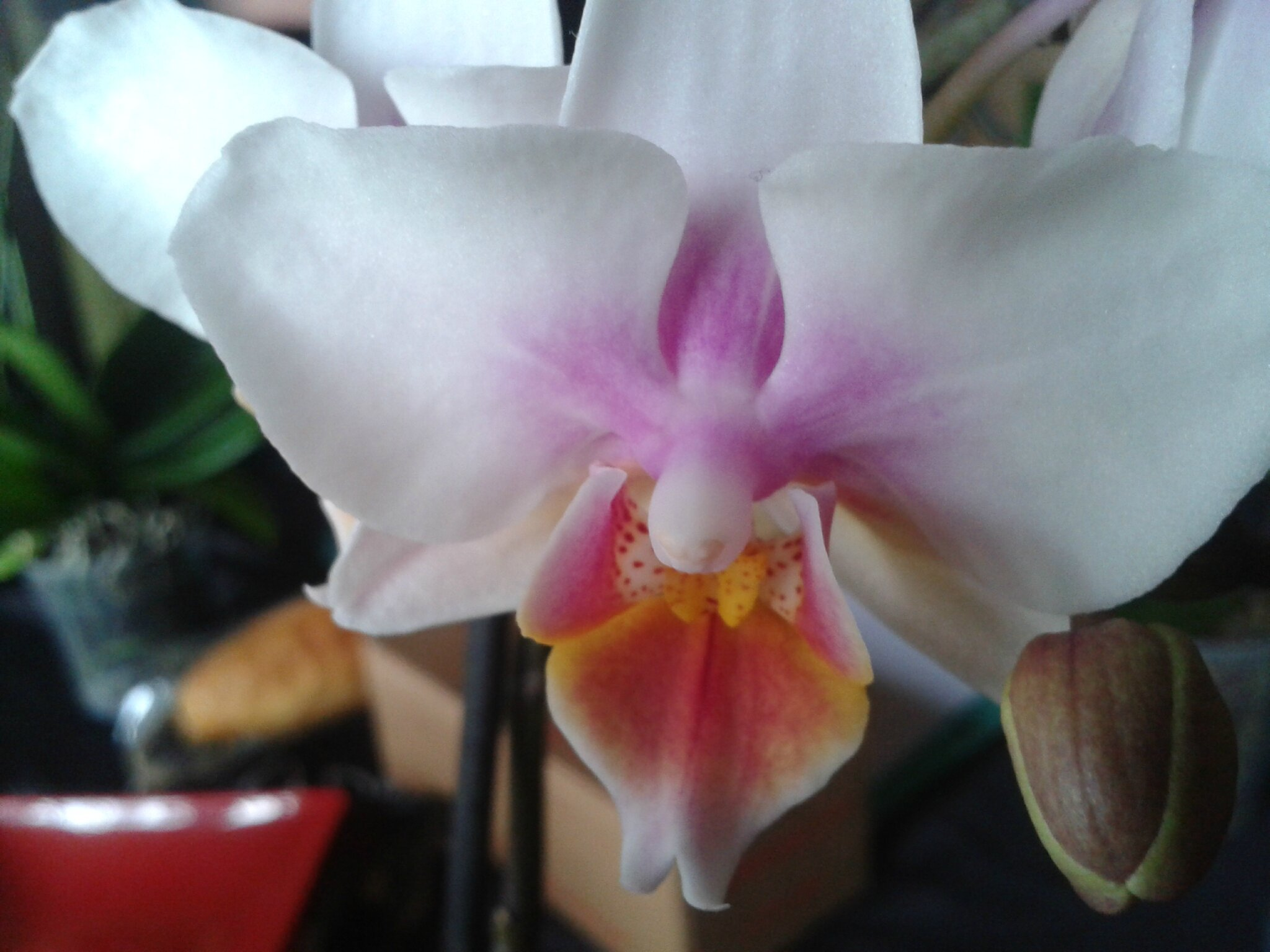 orchidee blanche au coeur rose