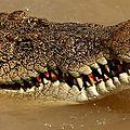 AUSTRALIE - CROCODILE
