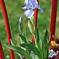 Iris lilliput Bleue Denim dans une chaise à bistrot !