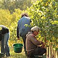 Vendanges 2012 en anjou : le layon fait grise mine!...
