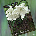 balanicole_2017_05_le printemps des tulipes_45_white parrot zohra2