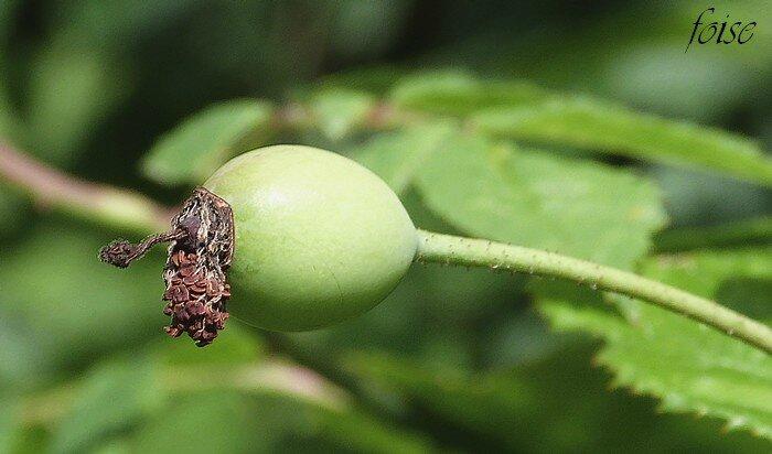 fruit subsphérique glabre