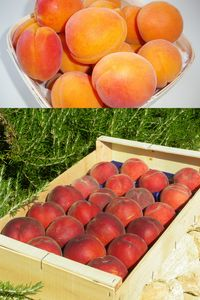 Abricots_p_ches
