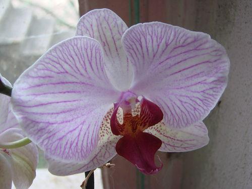 2008 07 30 Une fleur de mon orchidée