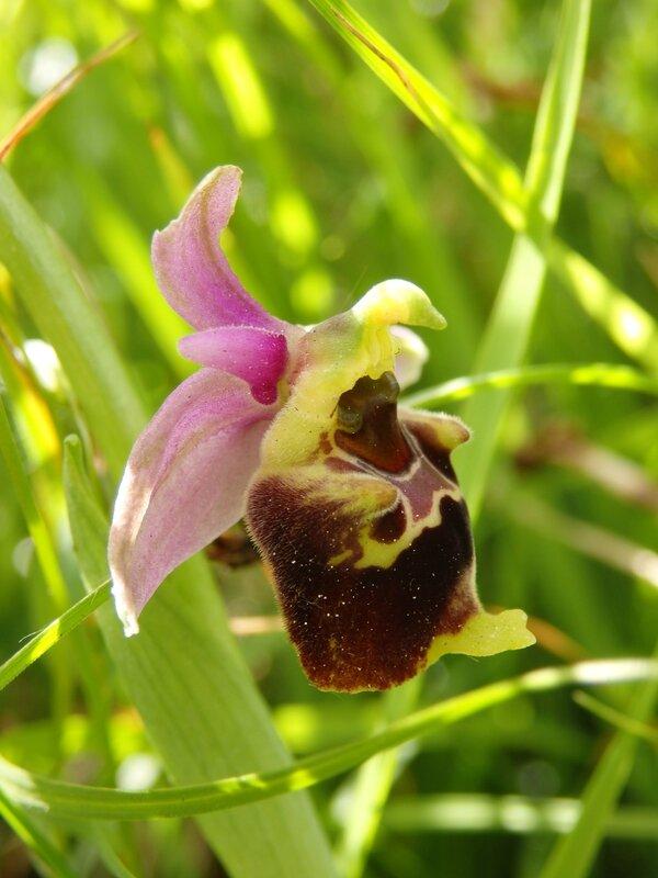 ophrys bourdon (2)