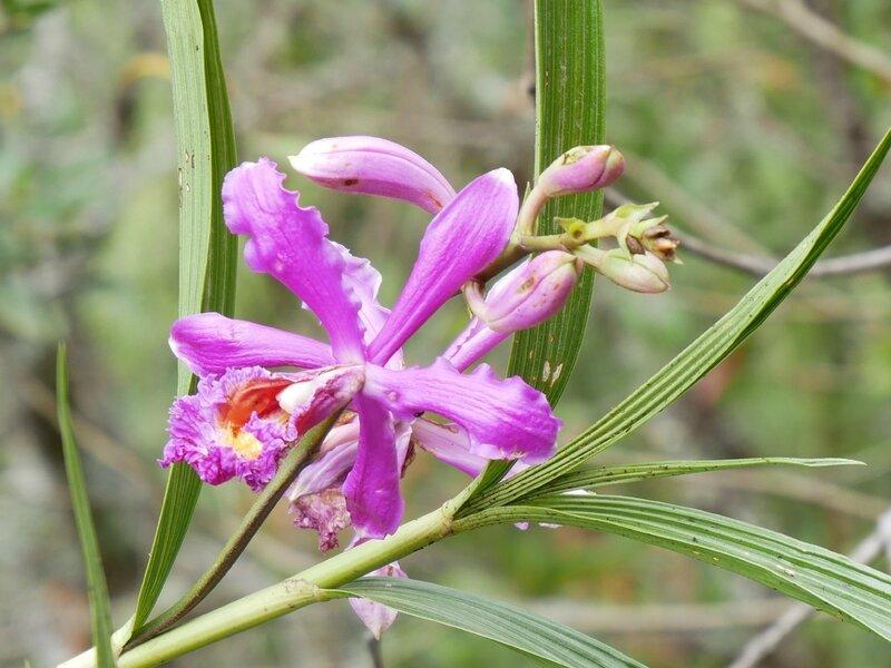 Sobralia Stenophylla