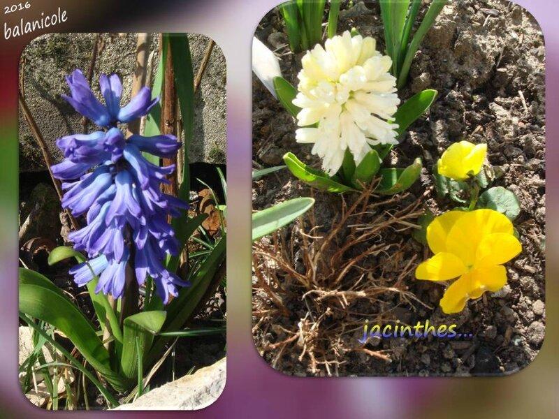 balanicole_2016_04_avril_24_jacinthes1