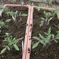 2008 04 10 Mes tomates que je viens de repiquer en jardinière