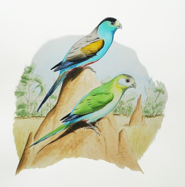 Golden-shouldered Parakeet